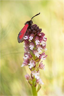 Thymian-Widderchen (Zygaena purpuralis), Schweiz, Wallis