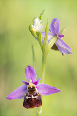 Ophrys x albertiana