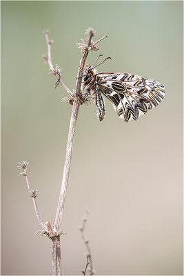 Südlicher Osterluzeifalter (Zerynthia polyxena), Männchen, Frankreich, Aude