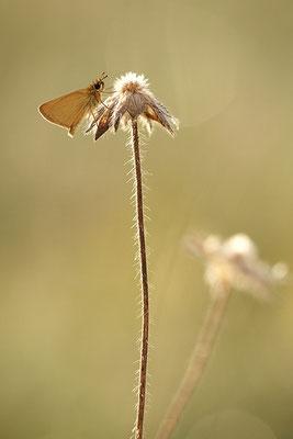 Schwarzkolbiger Braun-Dickkopffalter (Thymelicus lineola), Deutschland, Baden-Württemberg