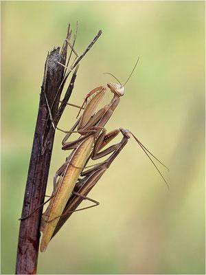 Europäische Gottesanbeterin (Mantis religiosa), Paarung, Deutschland, Baden-Württemberg