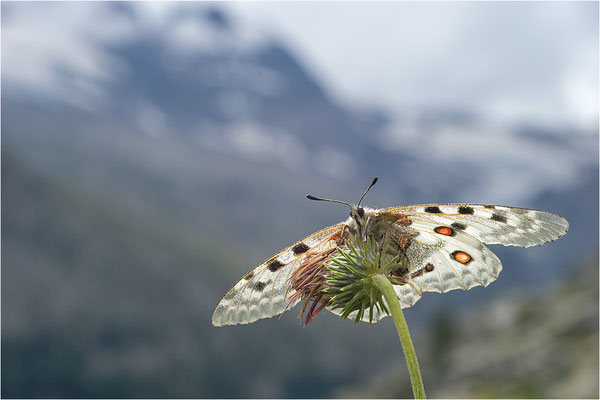 Roter Apollo (Parnassius apollo pedemontanus), Italien, Region Aostatal, 2.500m