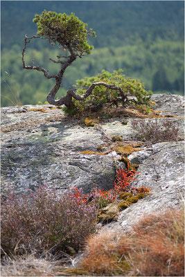 Waldkiefernsolitär, Dalsland