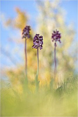 Purpur-Knabenkraut (Orchis purpurea), Frankreich, Drôme