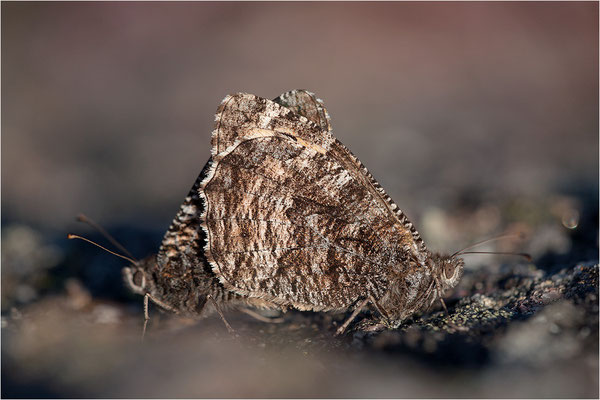 Rostbinde (Hipparchia semele), Paarung, Schweden, Värmland