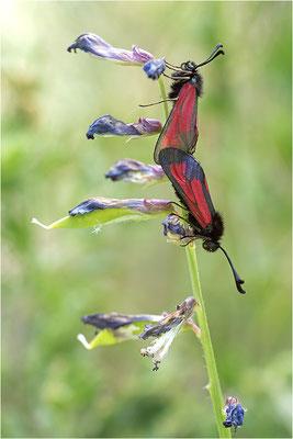 Thymian-Widderchen (Zygaena purpuralis), Paarung, Italien, Region Aostatal, 1400m