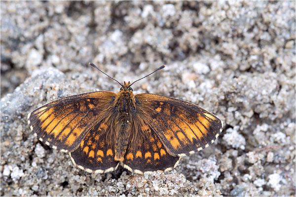 aberrativ gefärbtes Männchen