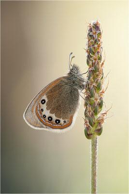 Alpen-Wiesenvögelchen (Coenonympha gardetta), Schweiz, Kanton Wallis
