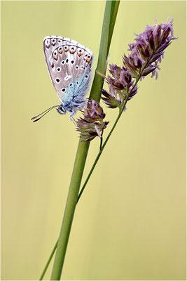 Himmelblauer Bläuling (Polyommatus bellargus), Männchen, Frankreich, Ardèche