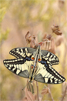 Schwalbenschwanz (Papilio machaon), Paarung, Frankreich, Bouches-du-Rhône