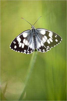 Schachbrettfalter (Melanargia galathea), Männchen mit asymmetrischen Flügeln, Deutschland, Baden-Württemberg