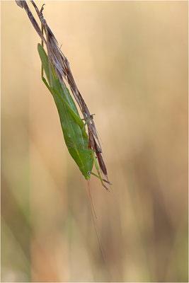Gemeine Schiefkopfschrecke (? - Ruspolia nitidula), Männchen, Frankreich, Drôme