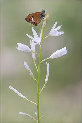 Darwin´s Wiesenvögelchen (Coenonympha darwinia), Schweiz, Kanton Tessin, 1.600m