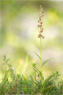 Rotbraune Stendelwurz (Epipactis atrorubens), Frankreich, Jura