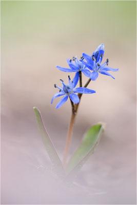 Zweiblättriger Blaustern (Scilla bifolia), Deutschland, Baden-Württemberg