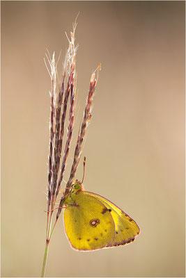 Gelbling (Colias spec.), Frankreich, Drôme