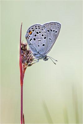 Heidelbeer-Bläuling (Plebeius optilete)