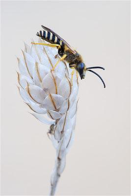 Furchenbiene (Halictus scabiosae), Männchen, Frankreich, Drôme