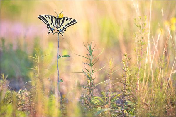 Südlicher Schwalbenschwanz (Papilio alexanor destelensis), Männchen, Frankreich, Dep. Vaucluse