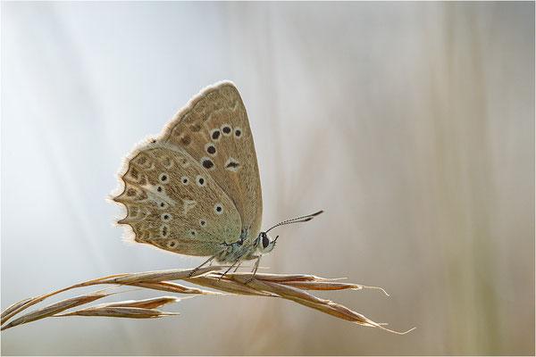 Zahnflügel-Bläuling (Polyommatus daphnis), Weibchen, Deutschland, Oberbayern