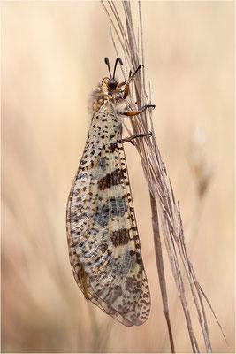 Libellenähnliche Ameisenjungfer (Palpares libelluloides), Frankreich, Ardèche