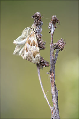 Loreley-Dickkopffalter (Carcharodus lavatherae), Italien, Region Aostatal, 1.400m