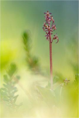 Kleines Zweiblatt (Listera cordata), Norrbotten, Schweden