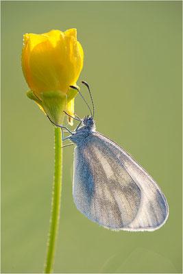 Tintenfleck-Weißling (Leptidea sinapis bzw. juvernica), Deutschland, Baden-Württemberg