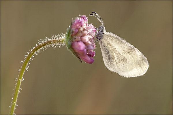 Tintenfleck-Weißling (Leptidea sinapis bzw. juvernica), Weibchen, Deutschland, Baden-Württemberg