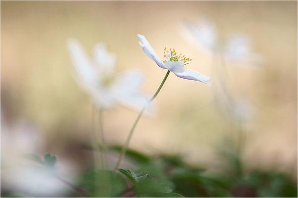 Buschwindröschen (Anemone nemorosa), Deutschland, Baden-Württemberg