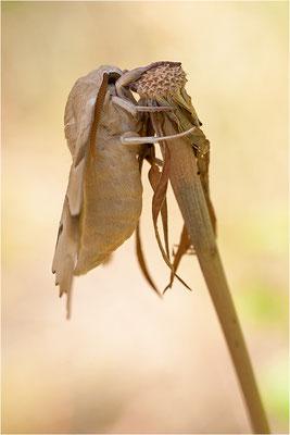 Eichenschwärmer (Marumba quercus), Frankreich, Ardèche