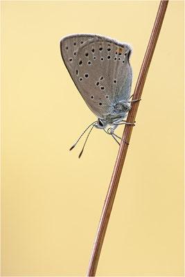 Lilagold-Feuerfalter (Lycaena hippothoe eurydame), Weibchen, Schweiz, Wallis, 1600m
