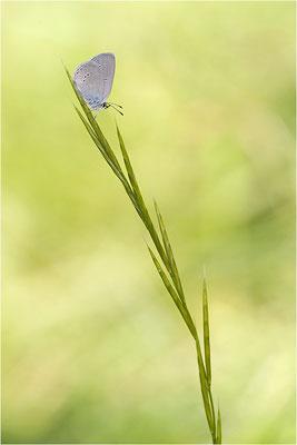 Zwergbläuling (Cupido minimus), Schweiz, Wallis