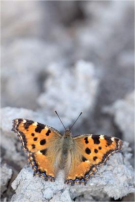 Großer Fuchs (Nymphalis polychloros), Deutschland, Baden-Württemberg