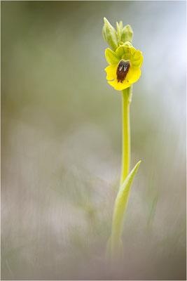 Ophrys lutea, Bouches-du-Rhône