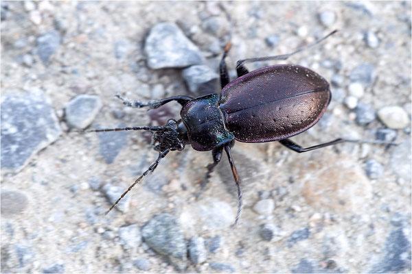 Hain-Laufkäfer (Carabus nemoralis)