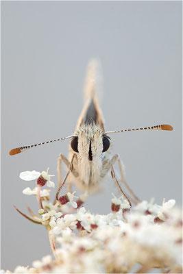 Ambossfleck-Würfeldickkopffalter (Pyrgus onopordi), Männchen, Frankreich, Drôme