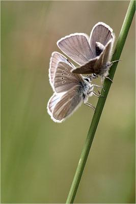 Großer Esparsetten-Bläuling (Polyommatus damon), Pärchen, Schweiz, Kanton Bern