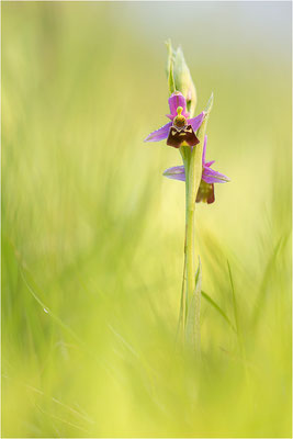 Hummel-Ragwurz (Ophrys fuciflora), Südlicher Oberrhein, Baden-Württemberg
