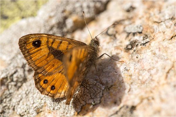 Korsischer Mauerfuchs (Lasiommata paramegaera), Korsika, Frankreich