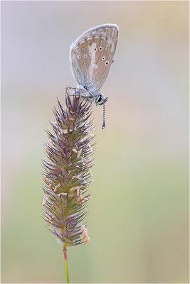 Aricia nicias, Männchen, Italien, Region Aostatal, 2000m