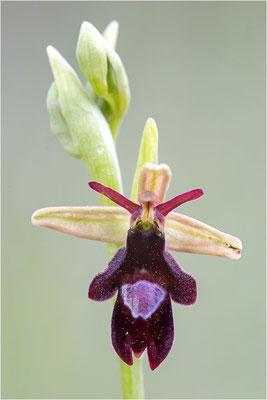 Ophrys x royanensis (=drumana x insectifera), Frankreich, Dep. Drôme
