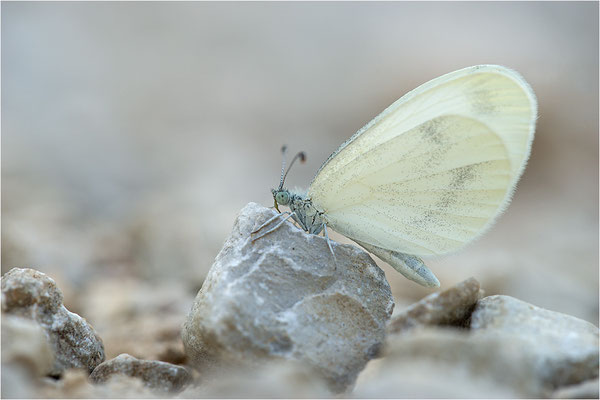 Östlicher Tintenfleck.Weißling (Leptidea cf. duponcheli), Frankreich, Dep. Drôme