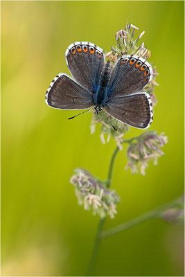 Himmelblauer Bläuling (Polyommatus bellargus), Weibchen, Deutschland, Baden-Württemberg