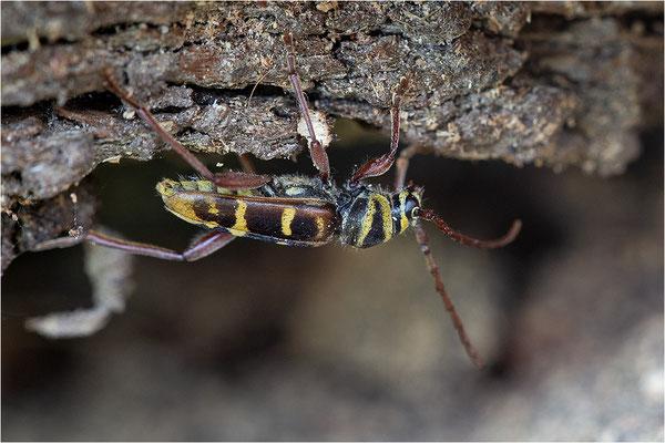 Hornissenbock (Plagionotus detritus)