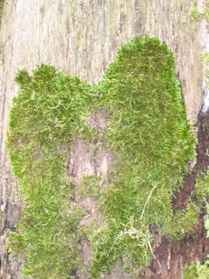 Herz eines Baumes