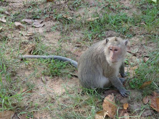 Affe in Angkor