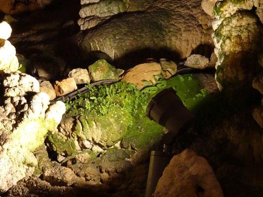 Pflanzen die hier im Scheinwerferlicht wachsen Grotta Gigante in Italien