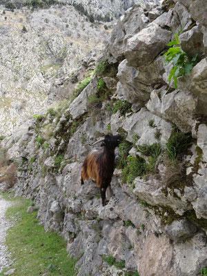 Kletternde Ziege