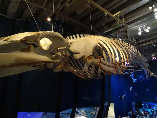 Skelet eines Blauwals im Te Papa Museum in Wellington